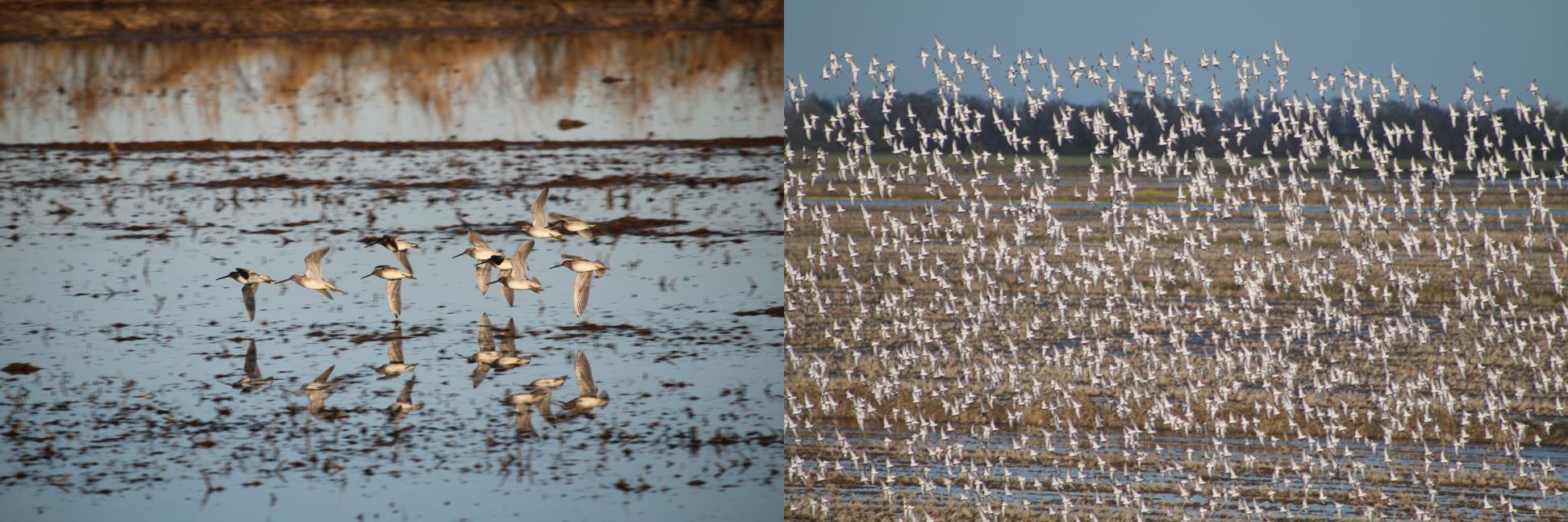 flock of birds flying over flooded fields