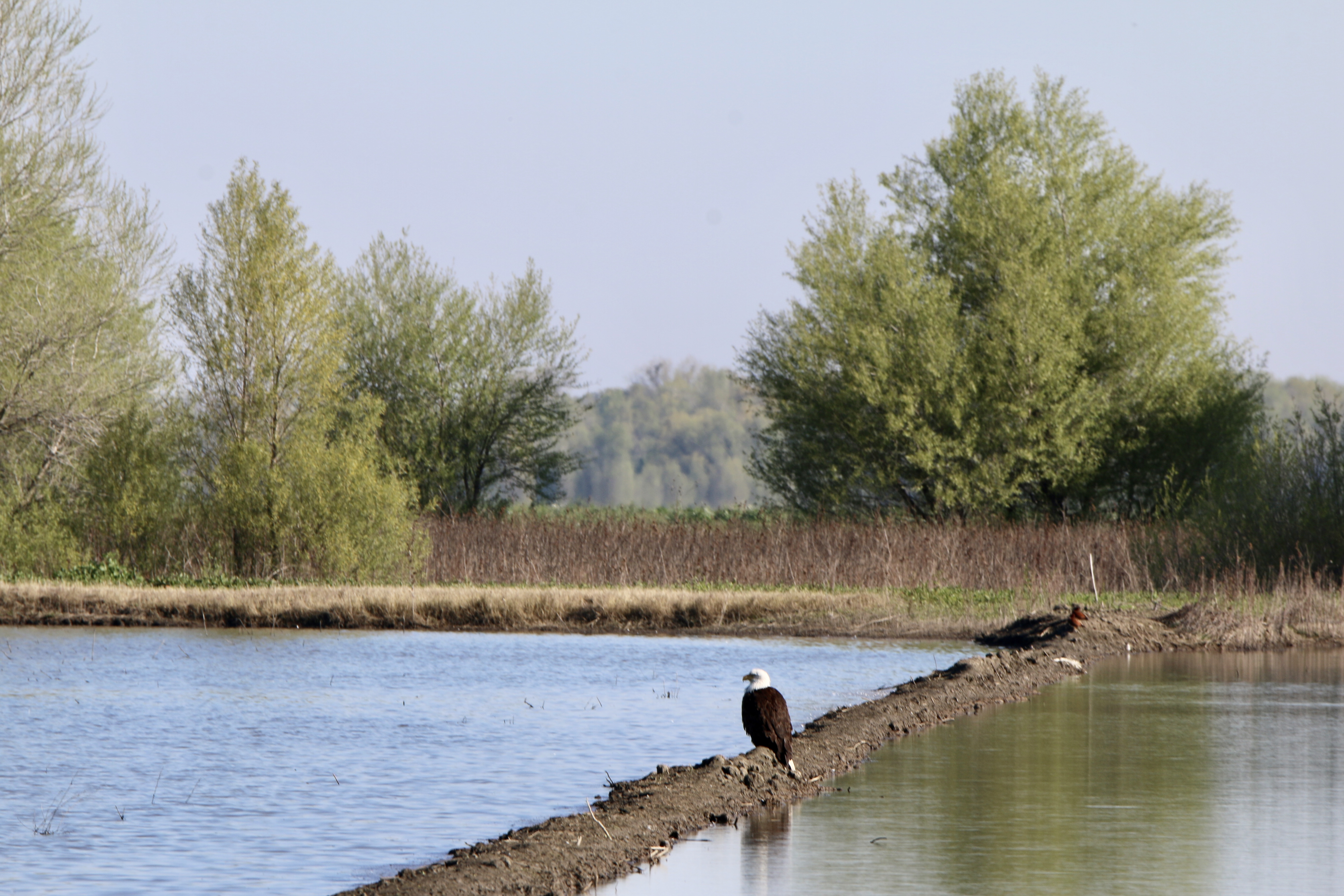 eagle standing in flooded field