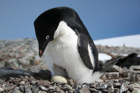 Adélie penguin nesting on the Antarctic Peninsula.Credits: Heather Lynch, Stony Brook University