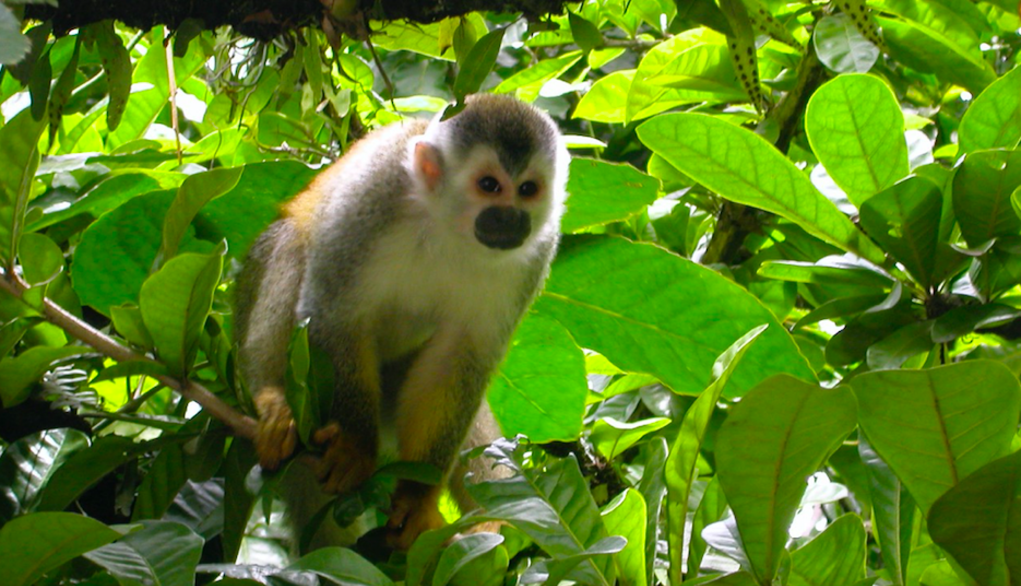 Photo of a Central American Squirrel Monkey in Costa Rica in 2008