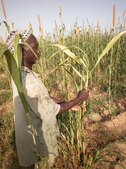 A man in a field touching a stalk of sorghum
