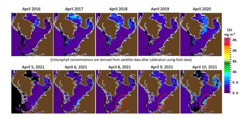 Satellite images show algal blooms in an area of about 25 km^2 near Port of Manatee of Tampa Bay (Florida, USA) after discharge of 215 million gallons of contaminated nutrient-rich water from the Piney Point gypstack in early April 2021.