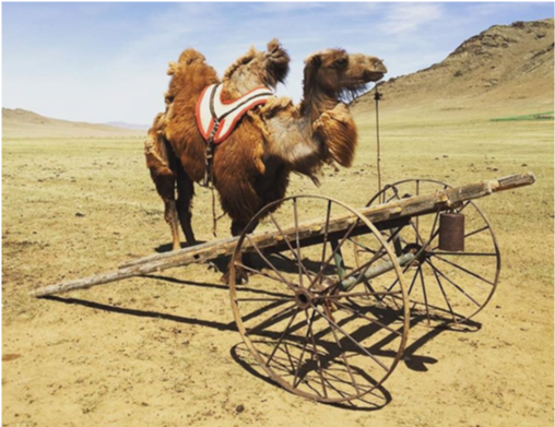 Photo of camel in Mongolia