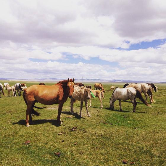 photo of horses in Mongolia