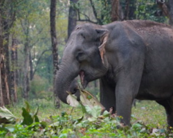 Asian elephant in Bhutan